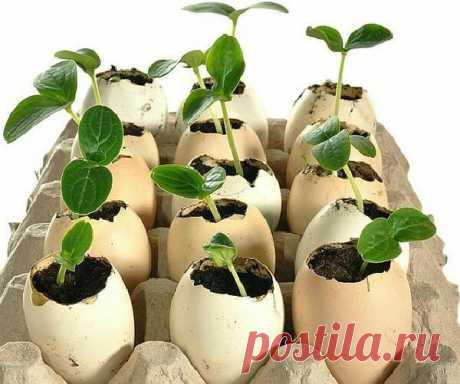 Заполняем яйца... рассадой огурцов | Олин Огород | Яндекс Дзен