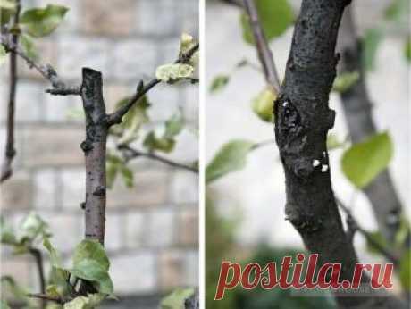 Спасение яблони   FORUMHOUSE   Яндекс Дзен