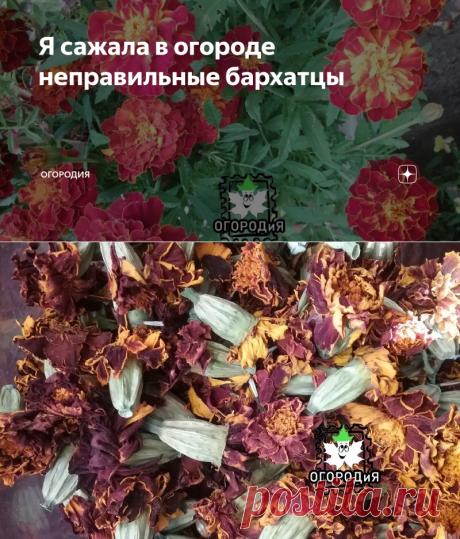 Я сажала в огороде неправильные бархатцы | ОГОРОДиЯ | Яндекс Дзен