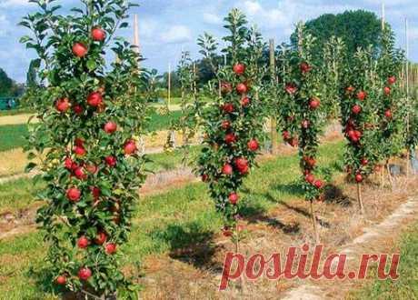 Посажен ряд плодовых деревьев ( все молодые). Хочу посадить колоновидные саженцы, на каком расстоянии нужно их садить от первого ряда?