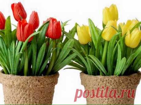 Выгонка тюльпанов домашних условиях