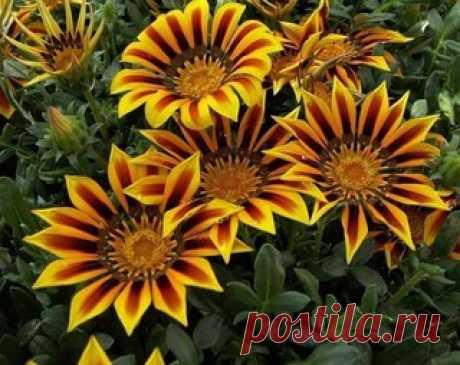 Восхитительные садовые цветы Газания