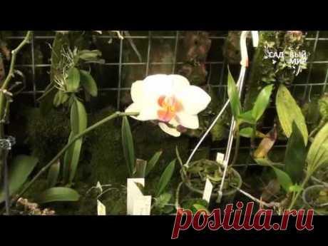 Como criar las orquídeas de Falenopsisy sobre la peana