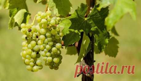 Как нужно правильно обрезать укрываемый на зиму виноград. Часть II | Redis.Media