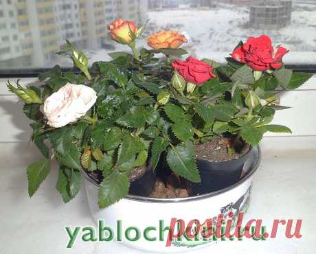 Cultivation of roses as houseplant. |