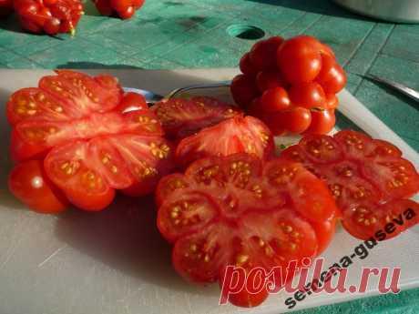 Удивительные помидоры!