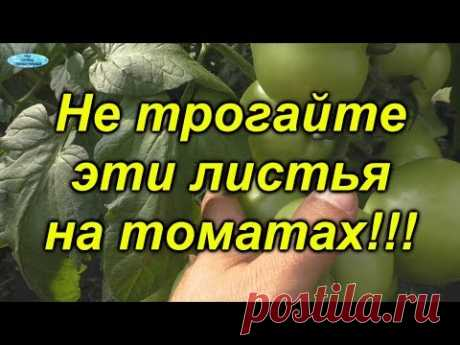 Преждевременное удаление ЭТИХ листьев на томатах намного снизит их урожайность- так делать нельзя!!! https://www.youtube.com/user/grisiuck - полезный и интер...