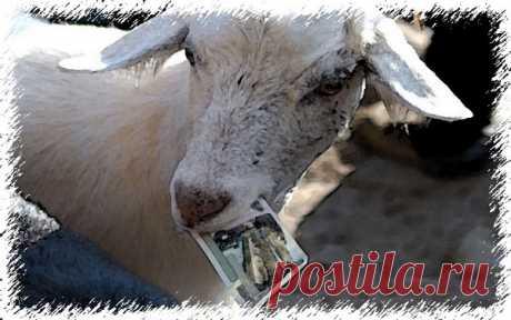 Смешные истории из жизни - Что это за коза за 20 тысяч евро