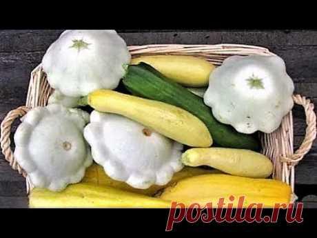295. Как вырастить здоровую и крепкую рассаду кабачков и патиссонов для большого урожая.