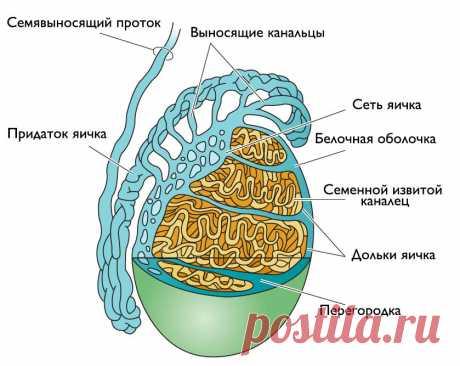 Боль в яичках и мошонке ♻️ Причины боли в яичках у мужчин   Medcity