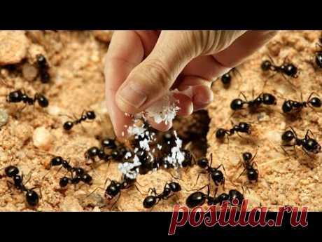Раз и нет муравьёв! Рабочий метод!