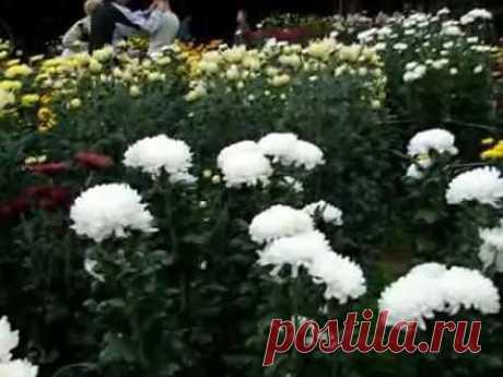 Бал хризантем в Никитском ботаническом саду - YouTube