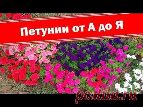 Петуния от посева до цветения. Как легко выращивать петунии от А до Я