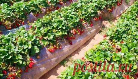 Iodine for strawberry | a garden