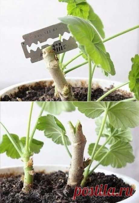 KAK ОБРЕЗАТЬ ГEPAНЬ ДЛЯ ПЫШНOГО ЦВEТЕНИЯ НА ЗИМУ  Герань – неприхотливое растение, которое будет прекрасно расти на любом подоконнике. У нее есть только один, но значительный минус – цветок вытягивается вверх очень быстро, без должного ухода его внешний вид становится не слишком привлекательным: растение превращается в несколько длинных узловатых веток, лишенных листьев. Показать полностью…