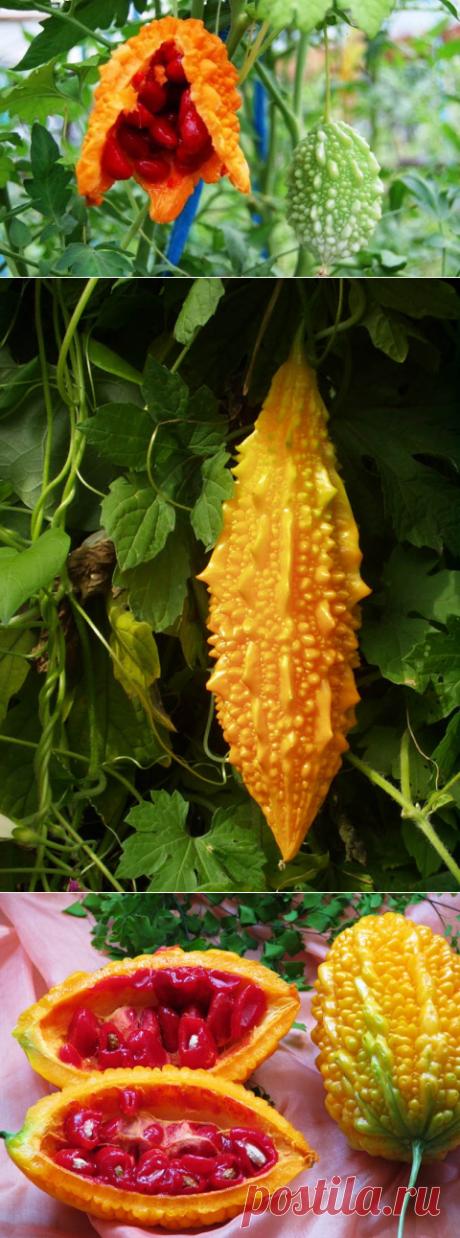 Cultivation of a momordika — 6 hundred parts