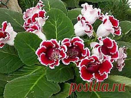 Глоксиния — Gloxinia, и Синнингия, (синингия) — Sinningia