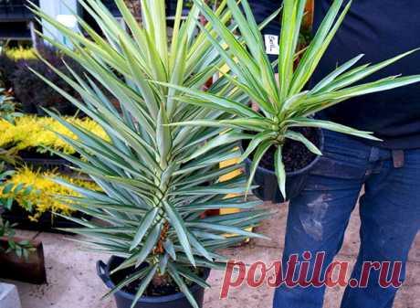 Юкка - уход в домашних условиях, размножение и пересадка пальмы юкка, фото, видео