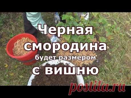 El cuidado del casis en otoño, ryhlenie, la fertilización, el pedazo, mulchirovanie, cherenkovanie
