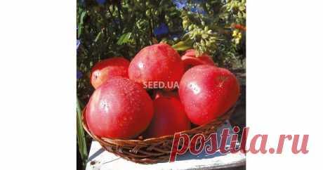 Томат Батяня  Высота стебля - 1,5м  Характеристика плода: масса - 350-800гр, окраска - малиновый, форма - сер