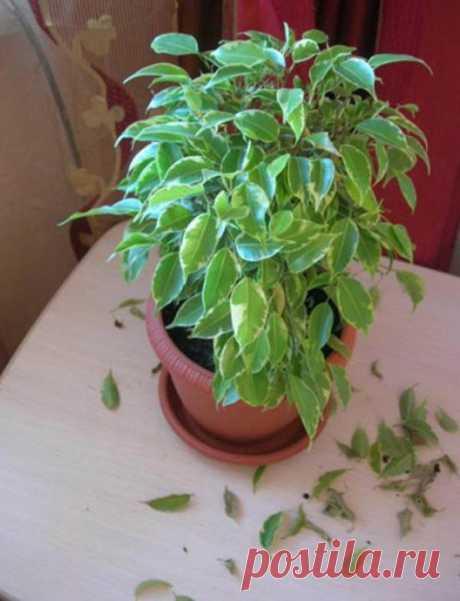 Почему у фикуса опадают листья? Каковы причины и что делать?