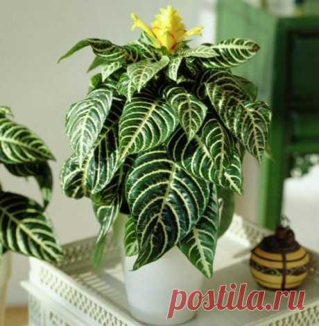 10 растений, которые лучше не полить, чем перелить. Уход в домашних условиях. Фото — Ботаничка.ru