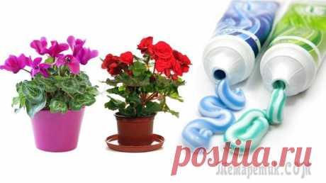 Необычная подкормка для комнатных цветов-зубная паста