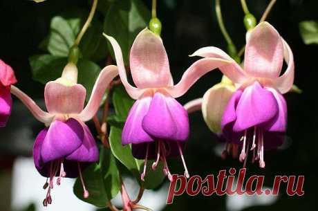 Как ухаживать за фуксией в горшке в домашних условиях Родиной этого необычного цветка является Центральная Америка и Новая Зеландия. В современном мире выведено множество видов растения, с самой разнообразной цветовой гаммой. Одним из популярных сортов я...