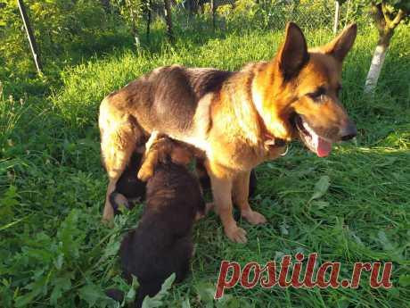 Щенки німецької вівчарки - Собаки Теофіполь на board.if.ua код оголошення 53811