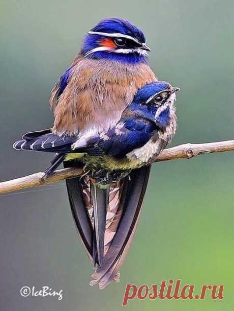 . Foto por 👉 Chan Icebing. ~ O arvoreswift Whiskered, é uma espécie de pássaro da família Hemiprocnidae. É a menor de 4 espécies do género Hemiprocne e é encontrada no Brunei, Indonésia, Malásia, Myanmar, Filipinas, Singapura e Tailândia.