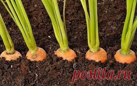 ЭФФЕКТИВНЫЙ СПОСОБ ПОСЕВА МОРКОВИ  Прореживать морковь не нужно!  Делается так: за 10-12 дней до посева семена моркови завязываем в тряпочку, посвободнее.  Закапываем во влажную землю на штык лопаты. В течение этого срока из семян выветриваются эфирные масла, которые мешают семенам прорасти.  По истечении указанного срока откапываем узелки с семенами из земли. Семена будут уже набухшие, крупные, почти проросшие. Высыпаем их в пиалу и припудрим обычным крахмалом.  Семен...