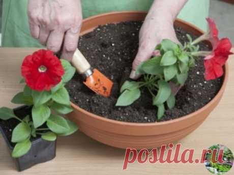 ОЧЕНЬ ПРОСТОЙ СПОСОБ ВЫРАСТИТЬ КРАСИВУЮ ПЕТУНИЮ    У многих садоводов не получается вырастить петунию из семян. Я каждый год рассаду петунии выращиваю сама. И поверьте, её вырастить очень легко. Только есть несколько секретов, которыми я с удовольствием поделюсь.    Раскладываю торфотаблетки в пластиковый контейнер. И заливаю теплой водой с добавлением «Гумистара» или «Биококтейля». Таблетки вырастают «на глазах». На каждую торфотаблетку положить по 1 грануле петунии.    Сверху засыпаю снегом. Э