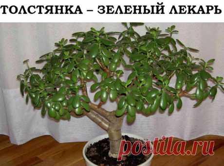 Полезные свойства толстянки - на заметку Полезные свойства толстянки - на заметку Мало кто знает, что по своим полезным свойствам толстянка, или как ее еще называют — денежное дерево, ничуть не