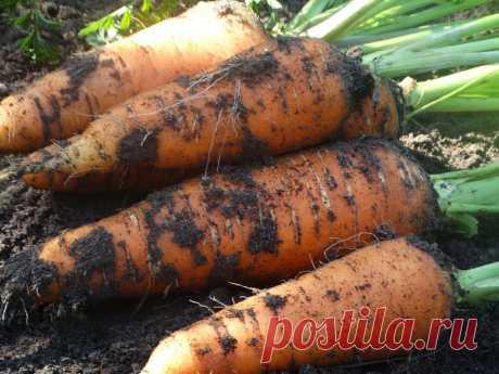 Как правильно убирать морковь, чтобы она долго хранилась. Не все огородники знают об этих тонкостях   Огородомания: сад, огород, дача   Яндекс Дзен