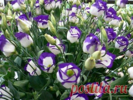 Как Эустома украсит ваш сад