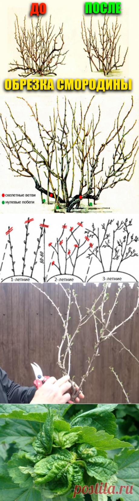 Обрезка смородины и крыжовника весной: схемы, картинки | уДачный проект | Яндекс Дзен