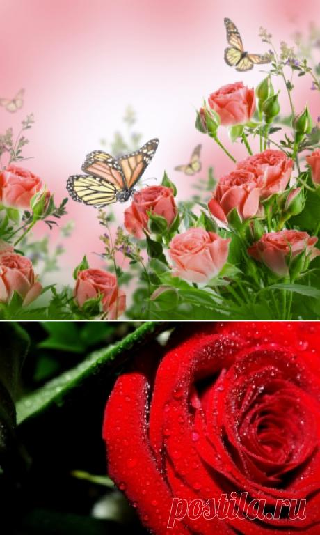 Обои на рабочий стол Цветы:Розы, Бабочка, Флора - скачать бесплатно.   Обои-на-стол.com