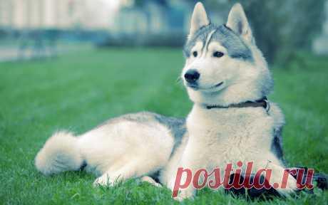Ямтхунд. Все про породу собаки, фото и правила содержания