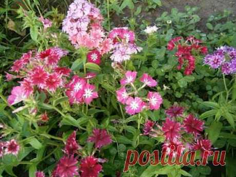 Очень люблю флоксы! Какие же они красивые! Я всегда улыбаюсь, когда вижу их яркие разноцветные цветочки!!!
