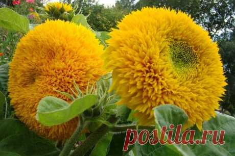 Decorative sunflower - landing, cultivation and leaving. Photo of grades and types