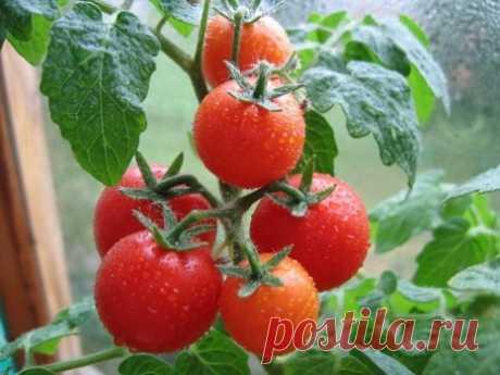 Выращивание томатов в теплице из поликарбоната: советы агрономов Тонкости агротехники выращивания помидор в поликарбонатной теплицы, секреты и советы, пошаговые мастер-классы. Видео-руководства с полезными советами.