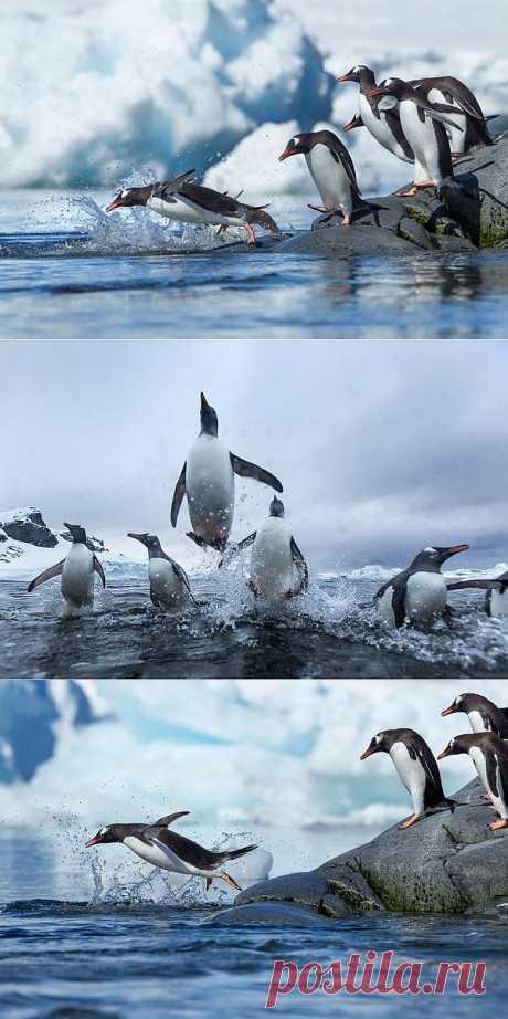 » Папуанские пингвины Это интересно!