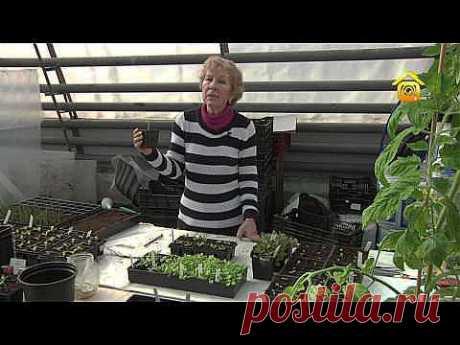 Выращиваем рассаду: пикировка и уход