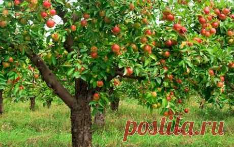 Чтобы яблоня не старела В любом саду можно найти хотя бы одну старую яблоню. Вроде и расстаться с нею жалко, и плодов она почти уже не приносит. Выход один: омолодить дерево.     Есть правила, которые должен знать садово...