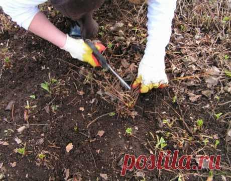 Что делать с клубникой после аномально теплой зимы? Почернели все листья | Дачные записки | Яндекс Дзен