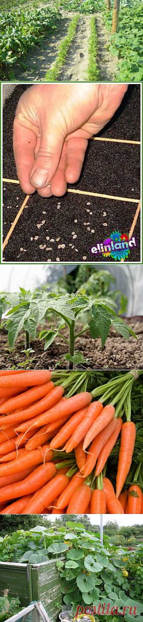 Carrots, beet and other vegetable cultures Diary of the gardener