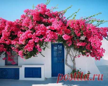 Такая же красота, только морозоустойчивая: аналоги южных растений | посуДАЧИм об огороде | Яндекс Дзен