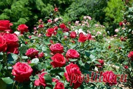 Как избавится от тли на розах народными средствами