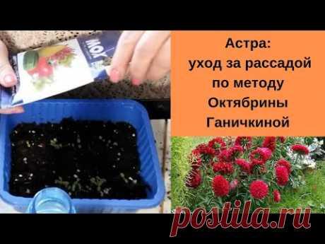 С цветами по жизни!: Астра: уход за рассадой по методу Октябрины Ганичкиной