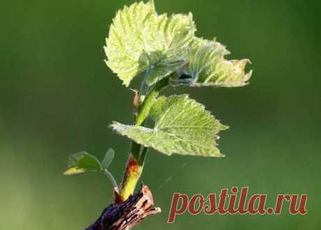Как формировать куст винограда | Ваши 6 соток | Яндекс Дзен